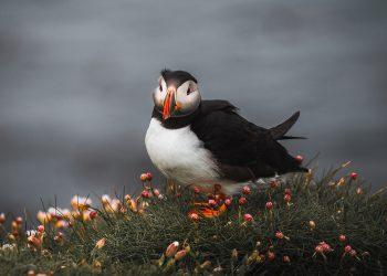 Puffin colony on Staffa Island
